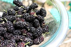 Here We Go 'Round the Mulberry Bush (and Mulberry Muffin Recipe)
