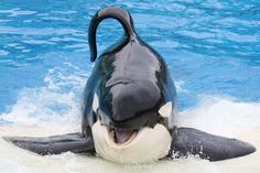 Keet performing a thrash slideout during the show! Please refrain from commenting about animal captivity or other issues unre. Arte Orca, Seaworld Orlando, Cute Whales, Killer Whales, Cute Creatures, Sea World, Dolphins, Mammals, Beast