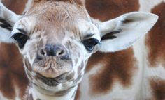 Maggie the giraffe was 80 pounds and 72 inches tall when she was born at the Oakland Zoo on January 12, 2012. (From: Adorable Zoo Animals You MUST See!)
