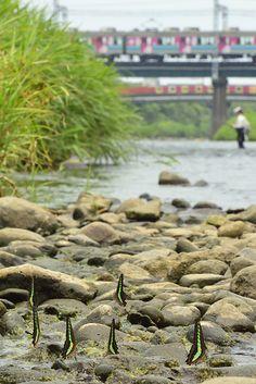 (Butterflies on the river bank!) Izu Kyuko Line, Kawazu, Shizuoka, Japan © Seiya Nakai 伊豆急行