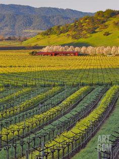 Spring Mustard Flowers in Screaming Eagle Vineyard, Napa Valley, California. Photographic Print by Janis Miglavs at Art.com