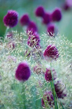 Allium schoenoprasum   Deschampsia cespitosa 'Goldtau'?   Ferdinand Graf von Luckner   Focus on garden - Fine Photography