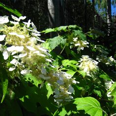 Hortensia de hoja de roble (Hydrangea quercifolia) - Este arbusto de hoja caduca se desarrolla bien en exposiciones a semisombra y en terrenos ácidos y permeables. No suele presentar problemas de cultivo. Tiene una coloración otoñal que av desde el púrpura hasta el naranja pálido y sus flores forman racimos blancos de considerable tamaño.