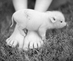 Ok, now THAT is a cute pig,when they are babies.but they grow up.Pigs a Dirt and stink.