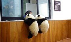 Panda Shirt for sale Cute Funny Animals, Cute Baby Animals, Animals And Pets, Baby Pandas, Wild Animals, Cute Creatures, Beautiful Creatures, Animals Beautiful, Panda Love