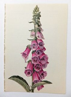 Foxglove, Digitalis. Foxglove Family. Pink Flower.  Vintage Flower Picture. Botanical Print. Blossoms, Housewares, Supplies