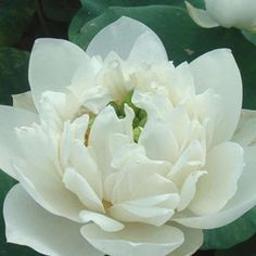 rare Lotus Flower | ... & Outdoor Living > Flowers, Trees & Plants > Aquatic Plants > Seeds