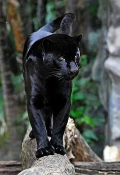 """""""A black panther is the melanistic color variant of any big cat species. Black panthers in Asia and Africa are leopards, and those in the Americas are black jaguars.  Speed: Leopard: 36 mph, Tiger: 30 – 40 mph Mass: Jaguar: 120 – 210 lbs, Leopard: 68 lbs, Tiger: 200 – 670 lbs Lifespan: Jaguar: 12 – 15 years, Leopard: 12 – 17 years, Tiger: 20 – 26 years"""""""