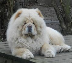 chow chow--how regal Horses And Dogs, Animals And Pets, Baby Animals, Cute Animals, Cute Puppies, Cute Dogs, Dogs And Puppies, Doggies, Big Dogs