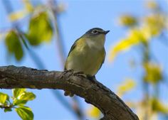 Blue headed Vireo - Photo Contest - National Wildlife Federation