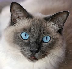 Myst. My beautiful Ragdoll cat Myst, he is so gorgeous and loves everyone!