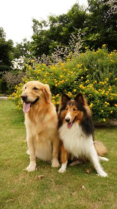 Sheltie with his Golden Brother