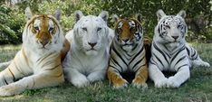 Resultado de imagen para imagenes de tigres