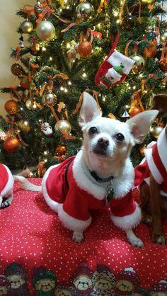 Chloe Chihuahua navideña!