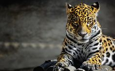 widescreen backgrounds jaguar animal  (Alexavier Cook 1920 x 1200)