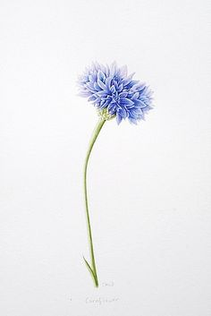 Cornflower - Read more about the herbal skincare properties of cornflower at www.herbhedgerow.co.uk