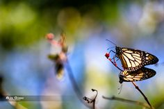 Butterfly Love by Alexander Gomez on 500px
