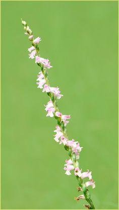 Spiranthes sinensis, ネジリバナ