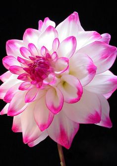 ~~Dahlia 'Matchmaker' ~ Fluffy white center with hot pink tips, spectacular garden and cut flower | Dahlia Barn~~                                                                                                                                                      More