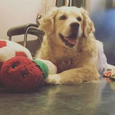 Reposting @gracieebear_: Candy absolutely loves her new toys, her caterpillar is here favourite 😍🐾 . . . . #dog #goldenretriever #golden #puppy #pup #cute #eyes #dogs_of_instagram #pet #petstagram #dogsitting #dogsofinstagram #ilovemydog #instagramdogs #dogstagram #dogoftheday #lovedogs #lovepuppies #hound #adorable #doglover #instapuppy #instadog #like #love
