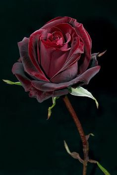 Red Rose on Black