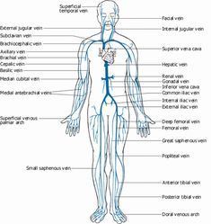 this diagram shows the major veins in the human body venas rh pinterest com