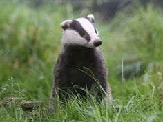 Quality Badger HD Wallpapers YWYYWY HDQ Cover Photos