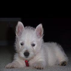 "Puppy Love  ""Bentley"""