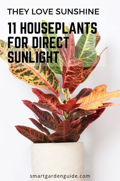 11 houseplants for south facing windows. Good indoor plants for warmer and brighter areas of your home. 11 houseplants for south facing windows. Good indoor plants for warmer and brighter areas of your home. Indoor Window Plants, Indoor Tropical Plants, Balcony Plants, Best Indoor Plants, Outdoor Plants, Hanging Plants, Plants That Like Sun, Full Sun Plants, Sun Loving Plants