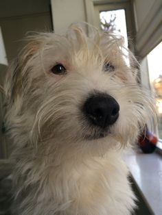 Patsy, Jack Russell terrier
