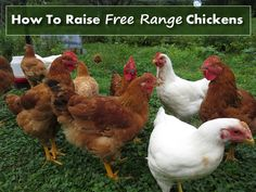 How To Raise Free Range Chickens - 5 tips to help you take the best care of your chickens... #chickens #homesteading