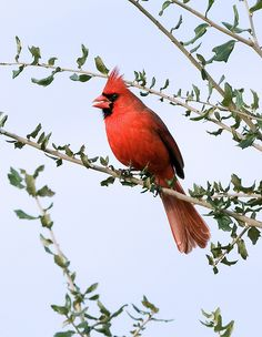 Cardinal | The male Northern Cardinal is perhaps responsible… | Flickr
