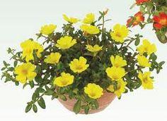 Container of yellow Portulaca umbraticola.