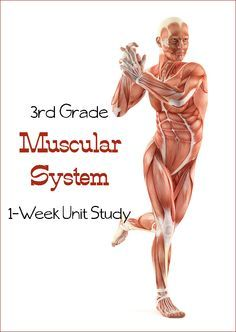 Third grade muscular system unit study - can be adapted. We aren't getting into the scientific names of the muscles, but are learning what they do for the body. Includes printable calendar with tasks for each subject! Health Class, Health Lessons, Science Lessons, Teaching Science, Science For Kids, Science Activities, Health Education, Life Science, Physical Education