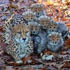Beautiful Cheetah Family