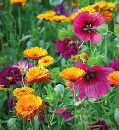 Cosmos 'Double Click Cranberries', Malope trifida 'Vulcan' and Calendula 'Indian Prince'.