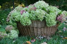 Beautiful old clothes basket filled with hydrangea♥ Hortensia Hydrangea, Hydrangeas, Peonie, Bouquet, Colorful Roses, Deco Floral, Dream Garden, Beautiful Gardens, Container Gardening