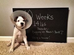 Puppy growth chart! Cute weekly or monthly photo idea! Pet Photography | Dog | Fun photo session ideas | Props