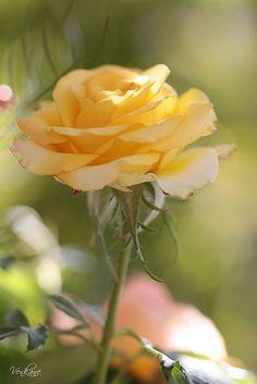 Resultado de imagem para yellow rose with love