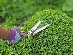 Conseils pour tailler le buis : époque de taille, taille des bordures de buis et des topiaires.