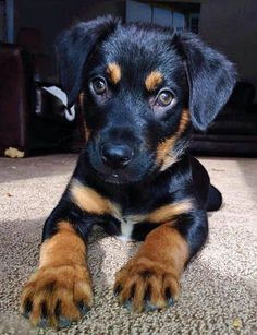 Jake the Labrador Mix -- Puppy Breed: German Shepherd Dog / Labrador Retriever