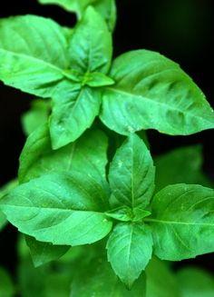 Basilic : planter et cultiver du basilic