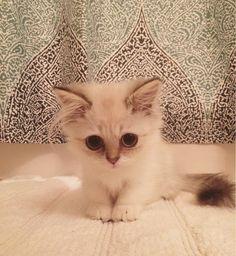 #Cats #Cat #Kittens #Kitten #Kitty #Pets #Pet #Meow #Moe #CuteCats #CuteCat #CuteKittens #CuteKitten #MeowMoe She has puppy dog eyes ... https://www.meowmoe.com/32191/