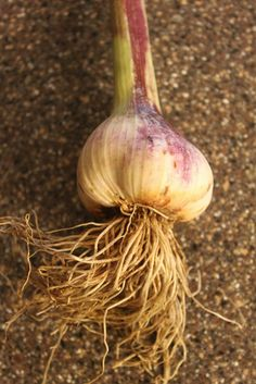 How To Grow, Cure And Store Your Own Garlic!
