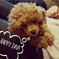 Happy day. Poodle. Caniche. Toy. Dog.