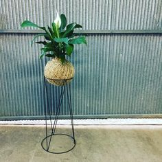 Giant Peace lily kokedama on wire stand 🌿 she's a crowd favourite #kokedama #goldcoast #buylocal she's coming at you @recoverwellbeing 😘