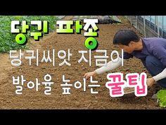 당귀 씨앗 발아가 잘 안되죠 ‥ 저만 따라만 하세요 가을 당귀씨앗 파종 발아율 100% 도전 , 잎당귀와 참당귀 재배법 - YouTube Onion, Garlic, Plants, Planters, Onions, Plant, Planting