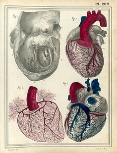 tonguedepressors: haincelin - illustration for manuel d'anatomie descriptive du corps humain (1825) by jules cloquet dissection of the heart, coronary vessels.