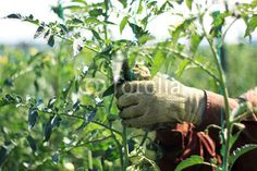 n the fields of the tomato plant Tomato Plants, Agriculture, Fields, Photos, Photo Illustration, Tomatoes