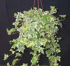 HERA VARIEGADA - plantas de sombra para ficar em torno da janela varanda